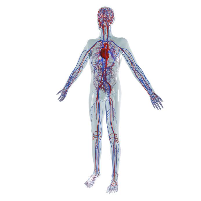 Anatomie Modell, Herz-Kreislauf System des Menschen mit den großen Gefäßen